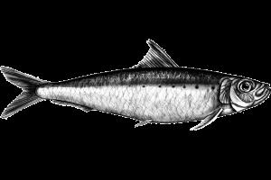 sardinha-web